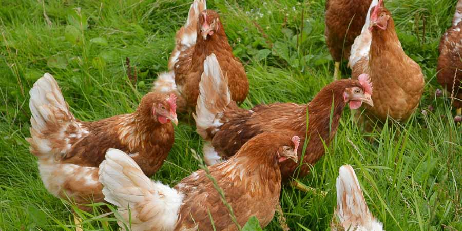 Braune Hühner
